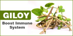 GILOY Help to Boost Immune System